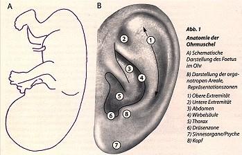 Ohrakupunktur - Paracelsus, die Heilpraktikerschulen