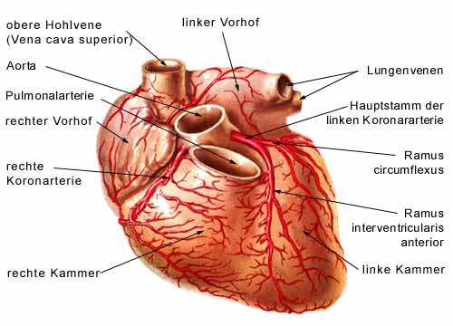Circulatory System - Heart A - Paracelsus, die Heilpraktikerschulen