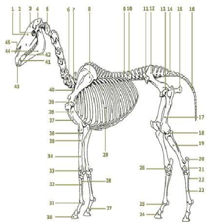 Anatomie des Pferdes - Paracelsus, die Heilpraktikerschulen