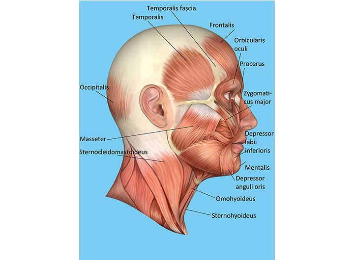 Muscular system - Lateral view of muscles of the face and anterior ...